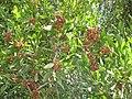 Starr-090804-3678-Acacia melanoxylon-leaves and seedpods-MISC HQ Piiholo-Maui (24944812166).jpg