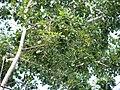 Starr-091104-0815-Dalbergia sissoo-leaves-Kahanu Gardens NTBG Kaeleku Hana-Maui (24987649345).jpg