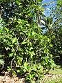 Starr-091104-9306-Artocarpus altilis-fruiting habit-Kahanu Gardens NTBG Kaeleku Hana-Maui (24895696351).jpg