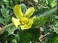 Starr-091108-9413-Citrullus lanatus-flower-Olinda-Maui (24621667309).jpg