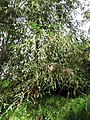 Starr-110307-2364-Sequoia sempervirens-habit-Kula Botanical Garden-Maui (24450022973).jpg