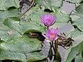 Starr-110330-3678-Nymphaea sp-flowering habit-Garden of Eden Keanae-Maui (24712948279).jpg