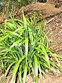 Starr-110411-4953-Dianella sandwicensis-habit form sandwicensis-Hawea Pl Olinda-Maui (24451854654).jpg