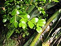 Starr-110609-6084-Buxus sp-leaves-Shibuya Farm Kula-Maui (25096693175).jpg