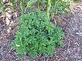 Starr-110731-8129-Solanum tuberosum-flowering habit-Hawea Pl Olinda-Maui (25102278385).jpg