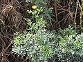 Starr-120403-4106-Ruta graveolens-flowering habit-Kula-Maui (25045175261).jpg