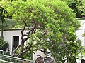 Starr-120504-5507-Dodonaea viscosa-champion tree-Maui Nui Botanical Garden-Maui (24511484864).jpg