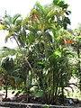 Starr-120522-6424-Chrysalidocarpus lutescens-habit-Iao Tropical Gardens of Maui-Maui (25050421221).jpg