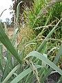 Starr-120608-7258-Panicum virgatum-cv Switch Alamo seedheads-Ulupalakua Ranch-Maui (24514461214).jpg