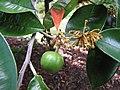 Starr-121108-0830-Chrysophyllum cainito-flowers leaves and immature fruit-Pali o Waipio-Maui (24900783460).jpg