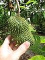 Starr-130312-2311-Annona muricata-fruit-Pali o Waipio Huelo-Maui (24576453974).jpg
