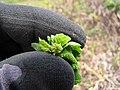 Starr-130320-3384-Lantana camara-leaf with egg of smaller Lantana butterfly biocontrol-Nihoku Mokolea Pt Kilauea Pt NWR-Kauai (24582298133).jpg