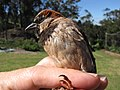 Starr-130601-4557-Rosmarinus officinalis-habitat with House Sparrow in hand-Hawea Pl Olinda-Maui (25118007441).jpg