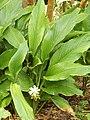 Starr-140925-1977-Curcuma longa-flowering habit-Pali o Waipio Huelo-Maui (25128294462).jpg