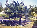 Starr-150327-0202-Cycas circinalis-old FWS photo-Town Sand Island-Midway Atoll (24637072514).jpg