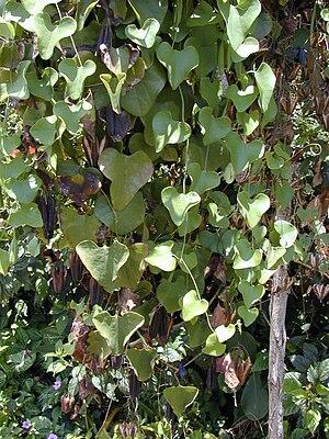 Aristolochia - Calico flower (A.littoralis): habit