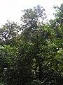 Starr 030807-0172 Syzygium malaccense.jpg