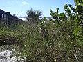 Starr 031108-0211 Chenopodium ambrosioides.jpg