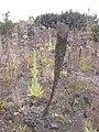 Starr 040723-0310 Verbascum thapsus.jpg