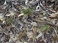 Starr 040812-0064 Araucaria columnaris.jpg