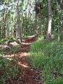 Starr 041130-1236 Setaria palmifolia.jpg