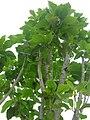 Starr 060325-9022 Nothocestrum latifolium.jpg