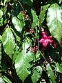 Starr 070111-3241 Ipomoea horsfalliae.jpg