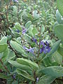 Starr 070621-7373 Vitex rotundifolia.jpg