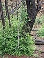 Starr 070908-9132 Sequoia sempervirens.jpg