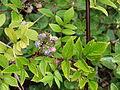 Starr 070908-9331 Rubus niveus f. b.jpg