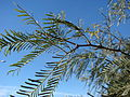Starr 071224-0479 Prosopis glandulosa.jpg