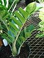 Starr 080103-1155 Zamioculcas zamiifolia.jpg