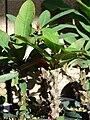 Starr 080103-1167 Euphorbia milii.jpg