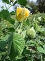 Starr 080609-8057 Abutilon grandifolium.jpg