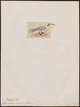 Sterna galericulata - 1820-1860 - Print - Iconographia Zoologica - Special Collections University of Amsterdam - UBA01 IZ17900350.tif