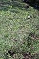 Streptosolen jamesonii 11zz.jpg