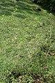 Streptosolen jamesonii 14zz.jpg