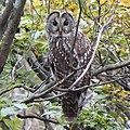 Strix uralensis looking back s2.JPG