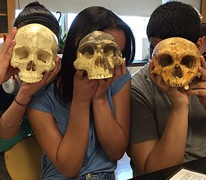 Human evolution - The size and shape of the skull changed over time.  The leftmost, and largest, is a replica of a modern human skull.