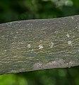 Styrax obassia in Christchurch Botanic Gardens 04.jpg