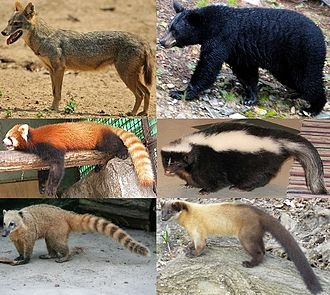 Caniformia - All extant land-dwelling caniform families (clockwise from top left): Canidae, Ursidae, Mephitidae, Mustelidae, Procyonidae, Ailuridae