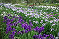 Suigo-Sawara-aquatic-botanical-garden3,iris,Katori-city,Japan.JPG