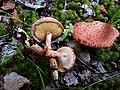 Suillus spraguei , Маслёнок Спрэга . Съедобный гриб. .jpg
