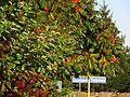 Sumak octowiec, 02 październik. Pomału liście zaczynają się kolorować pod jesień..JPG