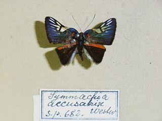 <i>Symmachia</i> genus of insects
