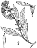 Symphyotrichum ontarionis BB-1913.png