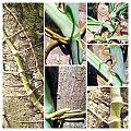 Syngonium podophyllum, collage.jpg