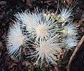 Syzygium mundagam 12.JPG