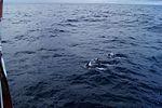 Szkola pod Zaglami delfiny w zatoce Biskajskiej.jpg