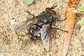 Tachinid Fly - Panzeria species?, Glendening Tract, Jug Bay Sanctuary, Lothian, Maryland.jpg